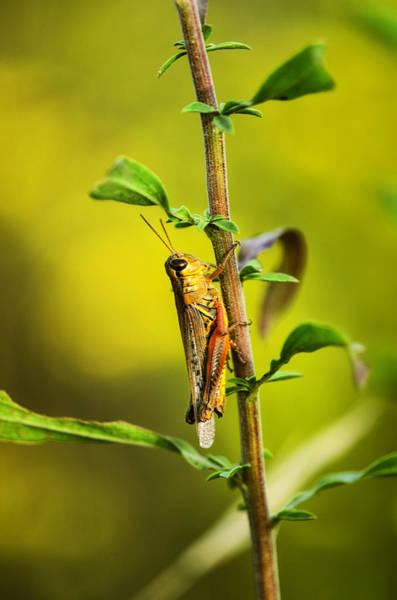 Grasshopper Photograph - Grasshopper Days by Susan Capuano