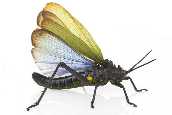 Photograph - Grasshopper Displaying  Mozambique by Piotr Naskrecki