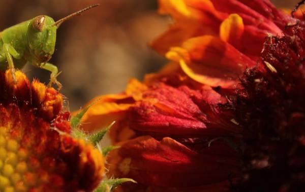 Loftus Photograph - Grasshopper In The Marigolds by Joel Loftus
