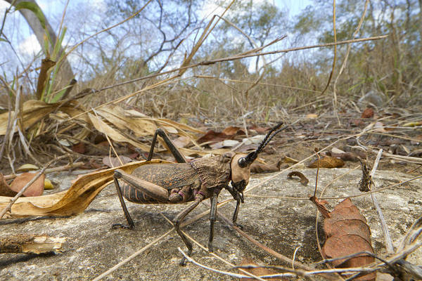Photograph - Grasshopper In Woodland Gorongosa by Piotr Naskrecki