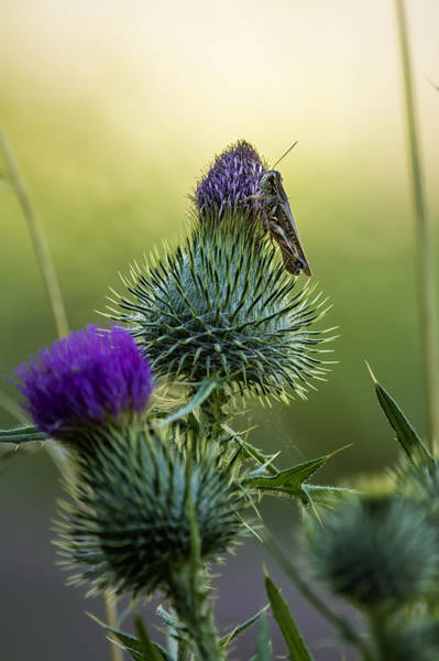 Photograph - Grasshopper On A Thistle by Belinda Greb