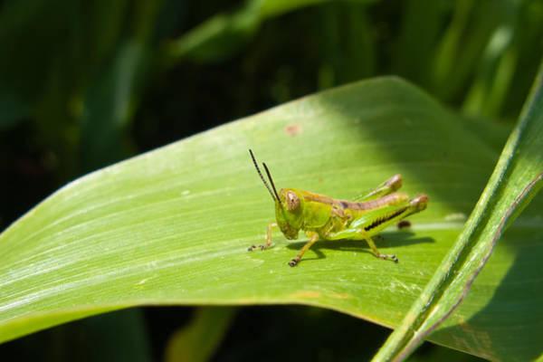 Grasshopper On Corn Leaf   Art Print