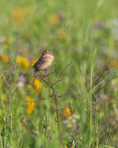 Photograph - Grasshopper Sparrow by Dale Kincaid