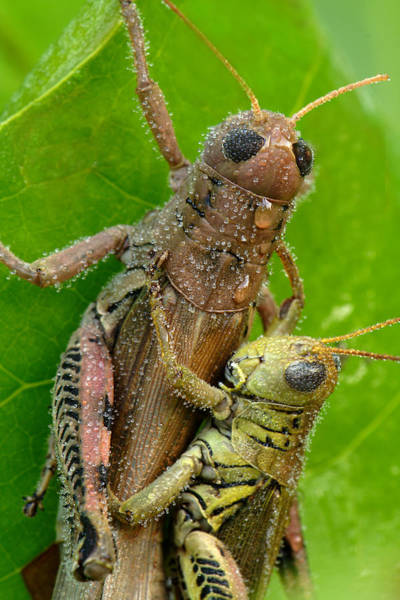 Photograph - Grasshoppers Mating With Dew by Daniel Reed