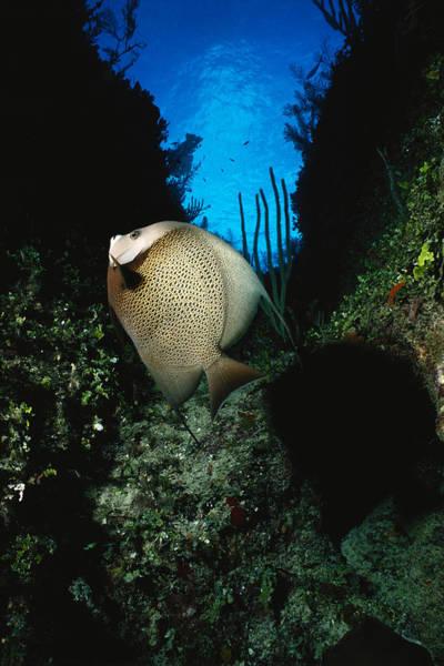 Wall Art - Photograph - Gray Angelfish Pomacanthus Arcuatus by F. Stuart Westmorland