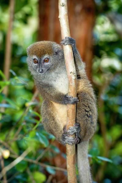 Lemurs Photograph - Gray Bamboo Lemur by Tony Camacho/science Photo Library