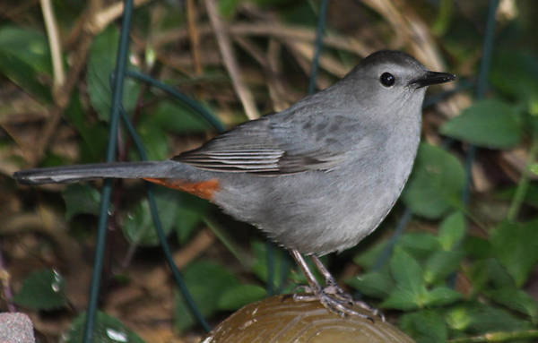 Photograph - Gray Catbird by Dart and Suze Humeston
