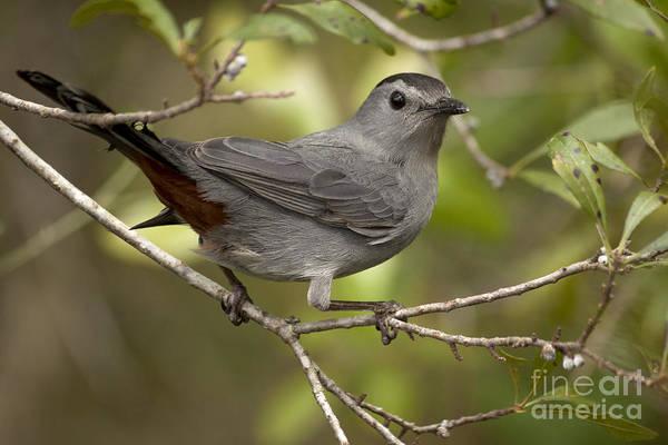 Photograph - Gray Catbird by Meg Rousher