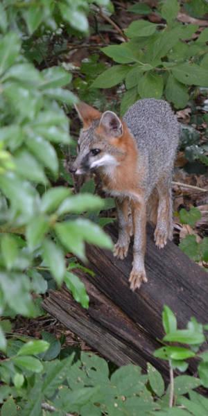 Photograph - Gray Fox II  Ip by rd Erickson