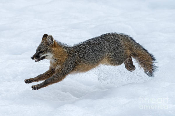 Photograph - Gray Fox Jumping Through The Snow by Dan Friend
