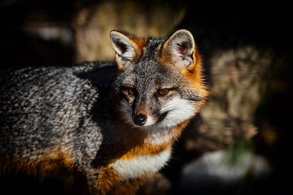 Red Wolf Photograph - Gray Fox by Karol Livote