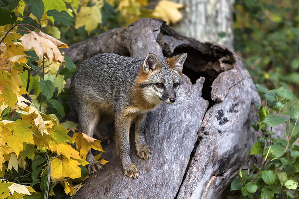 Wall Art - Photograph - Gray Fox by Linda Arndt