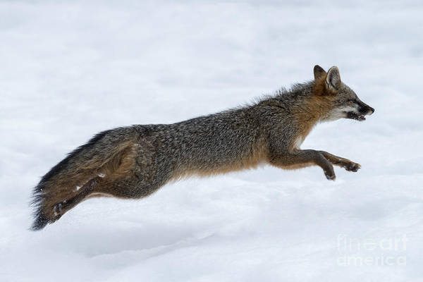 Photograph - Gray Fox Running In The Snow by Dan Friend