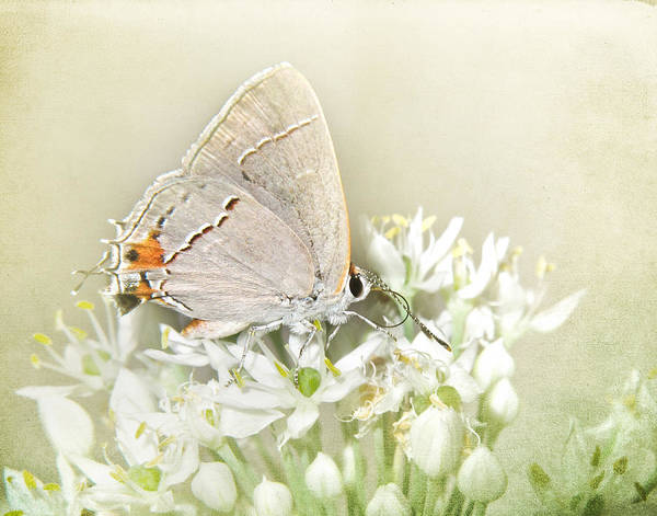 Chive Photograph - Gray Hairstreak IIi by David and Carol Kelly