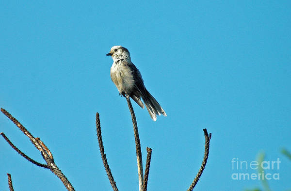 Photograph - 1056a Gray Jay by NightVisions