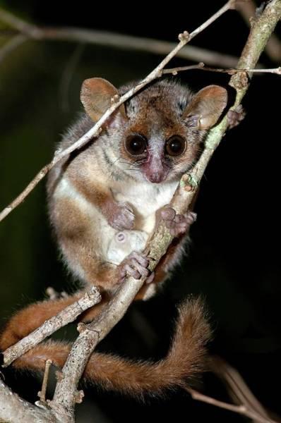 Lemurs Photograph - Gray Mouse Lemur by Tony Camacho/science Photo Library