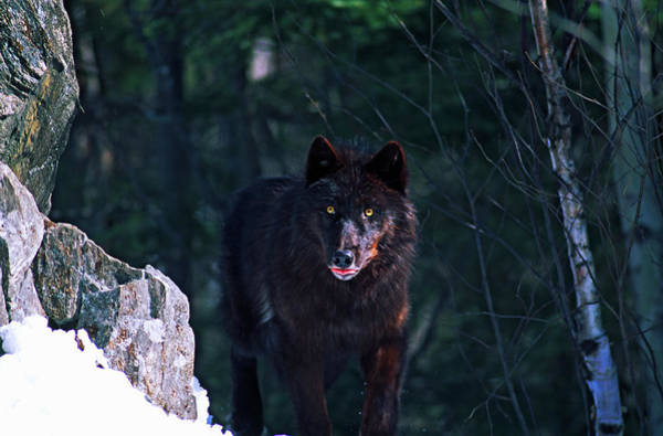 Wall Art - Photograph - Gray Or Timber Wolf Canis Lupus by Animal Images