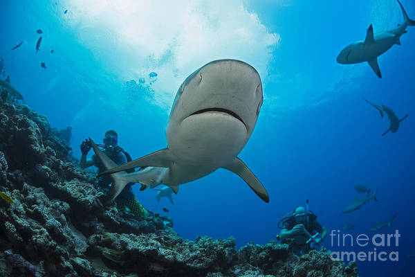 Wall Art - Photograph - Gray Reef Sharks _carcharhinus Amblyrhynchos_ And Divers At A Dive Site Named Vertigo, Off The Island Of Yap_ Yap, Micronesia by Dave Fleetham