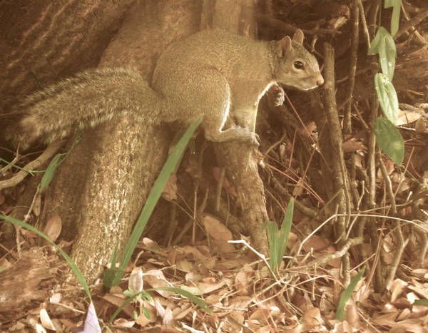 Photograph - Gray Squirrel by Grace Dillon