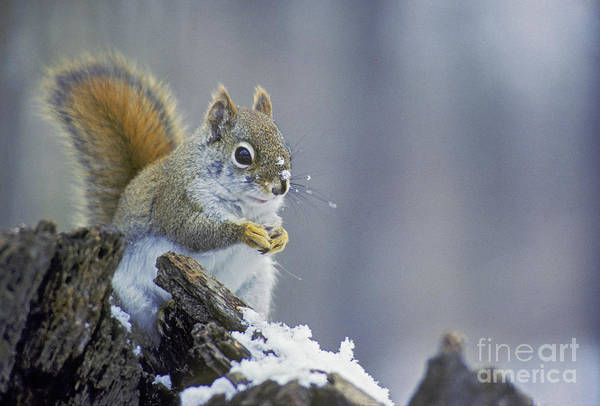 Photograph - Gray Squirrel In Winter by Jim West