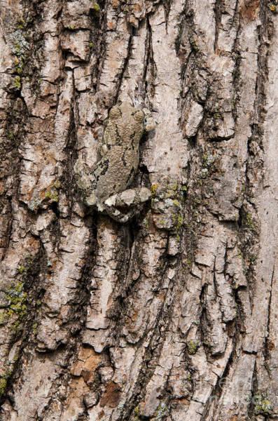 Photograph - Gray Tree Frog by Stephen J Krasemann