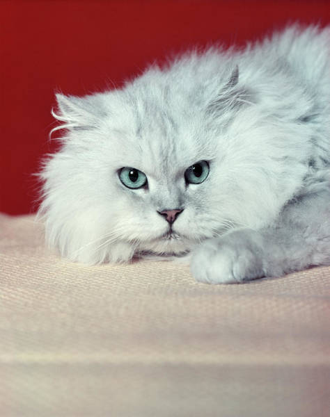 Long Hair Cat Photograph - Gray White Long Haired Cat Blue Eyes by Vintage Images