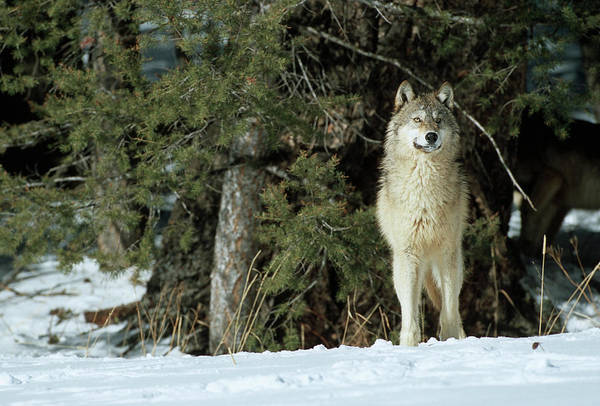 Canis Lupus Photograph - Gray Wolf (canis Lupis by Richard and Susan Day