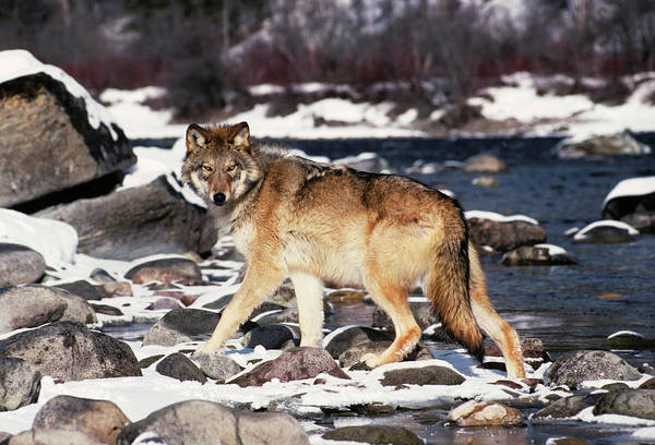 Wall Art - Photograph - Gray Wolf Canis Lupus By Winter Stream by Animal Images