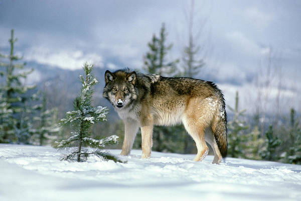 Wall Art - Photograph - Gray Wolf Canis Lupus In Winter Snow by Animal Images