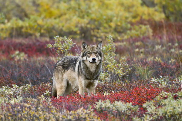 Red Wolf Photograph - Gray Wolf Canis Lupus Walking Along by Gary Schultz