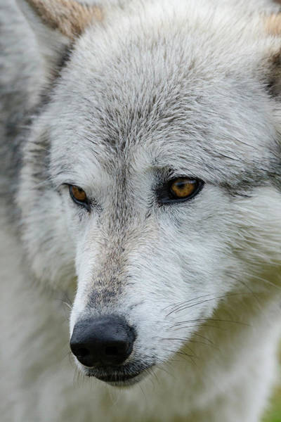 Canis Lupus Photograph - Gray Wolf, Canis Lupus, Yellowstone by Maresa Pryor
