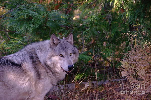 Wall Art - Photograph - Timber Wolf by Jeff Swan