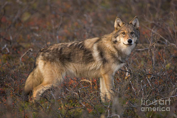 Wall Art - Photograph - Gray Wolf On Tundra In Denali by Yva Momatiuk John Eastcott