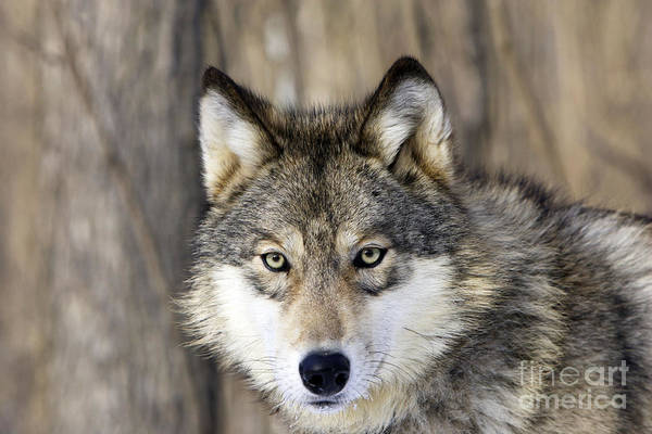 Timber Wolves Photograph - Gray Wolf Or Timber Wolf by M. Watson