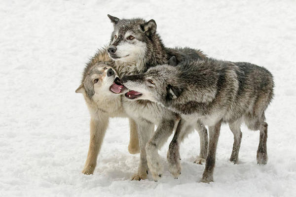 Canis Lupus Photograph - Gray Wolf Pack Behavior In Winter by Adam Jones