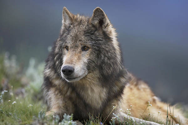 Wall Art - Photograph - Gray Wolf Resting North America by Tim Fitzharris