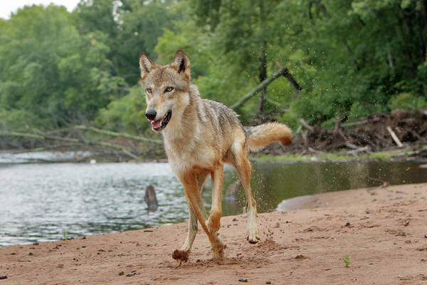 Canis Lupus Photograph - Gray Wolf Running, Canis Lupus by Adam Jones