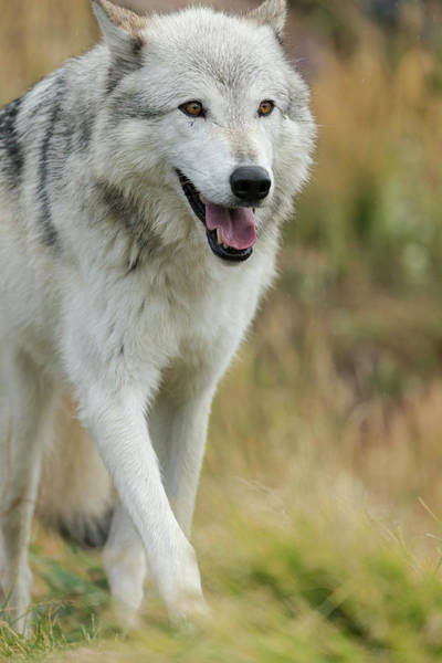 Canis Lupus Photograph - Gray Wolf Running In A Fall Drizzle by Maresa Pryor