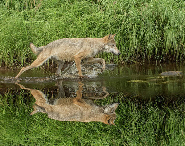 Canis Lupus Photograph - Gray Wolf Running Through Water, Canis by Adam Jones