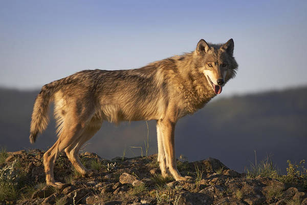 Wall Art - Photograph - Gray Wolf Side View North America by Tim Fitzharris