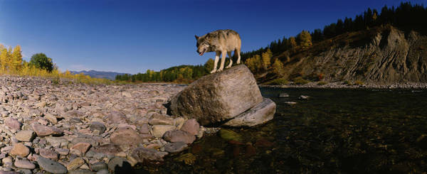 Wall Art - Photograph - Gray Wolf Standing On A Rock by Animal Images