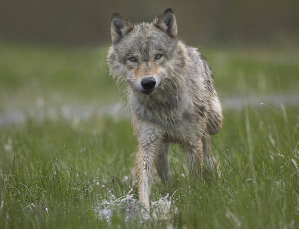Wall Art - Photograph - Gray Wolf Walking Through Water by Tim Fitzharris