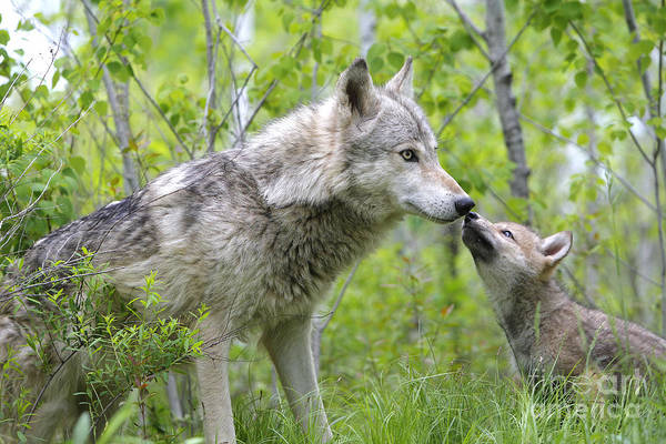 Timber Wolves Photograph - Gray Wolf With Cub, Canis Lupus by M. Watson