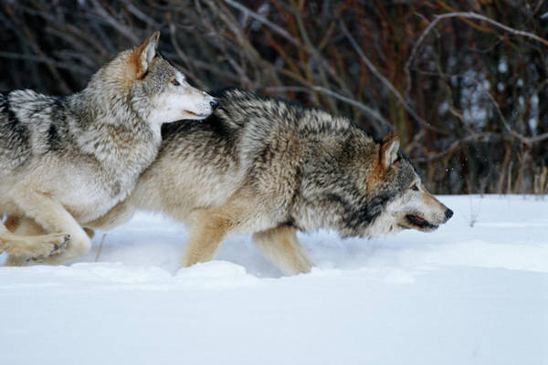 Canis Lupus Photograph - Gray Wolves (canis Lupis by Richard and Susan Day