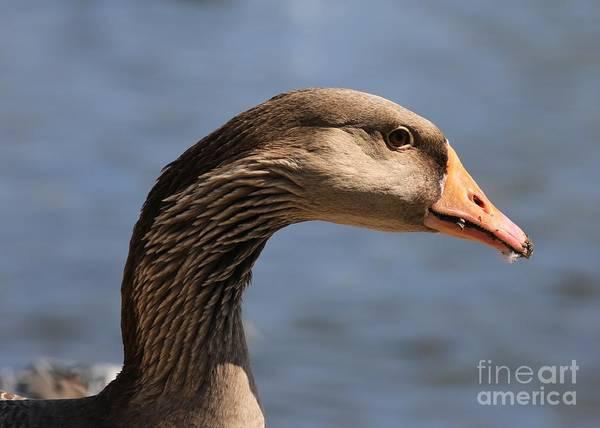 Photograph - Greylag Goose Closeup by Carol Groenen