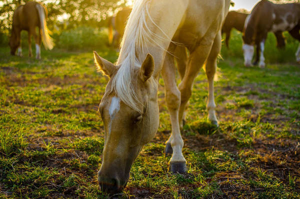 Pferd Photograph - Grazing At Sunset by David Morefield