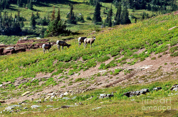 Goat Rocks Wilderness Wall Art - Photograph - Grazing Big Horn Sheep by Robert Bales