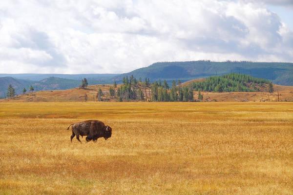 Photograph - Grazing Buffalo by Lars Lentz