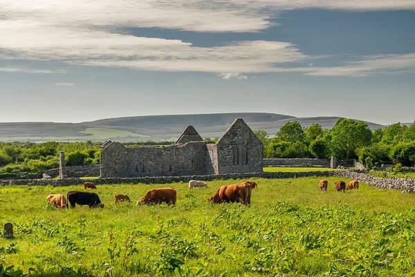 Wall Art - Photograph - Grazing Cattle, Kilmacduagh Ruins by James Steinberg