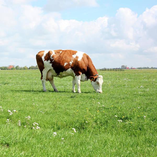 Grazing Photograph - Grazing Cow by Marcel Ter Bekke